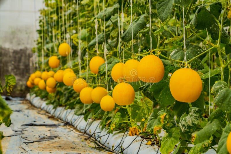 Żółte kantalupów melonów rośliny r w ogródzie zdjęcia stock