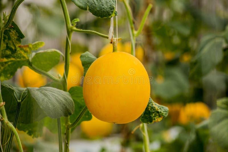 Żółte kantalupów melonów rośliny r w ogródzie fotografia stock