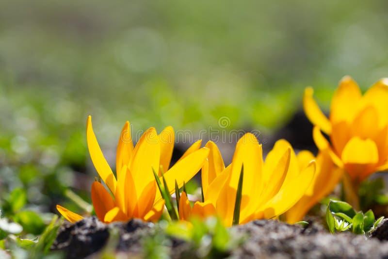 Żółte krokusy w świetle słonecznym zdjęcie stock