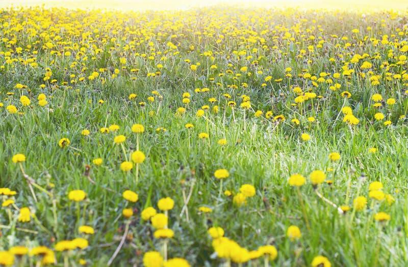 Żółte kwiat głowy dorośnięć Dandelions, Taraxacum lub Zielona trawa na słonecznym dniu zdjęcie stock
