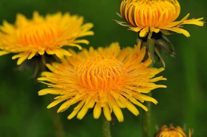 Żółte kwiat głowy pospolity dandelion fotografia royalty free