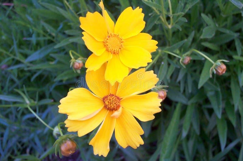 żółte kwiaty obraz stock