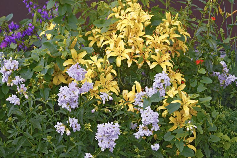 Żółte leluje na kwiatu łóżku w lecie zdjęcia stock