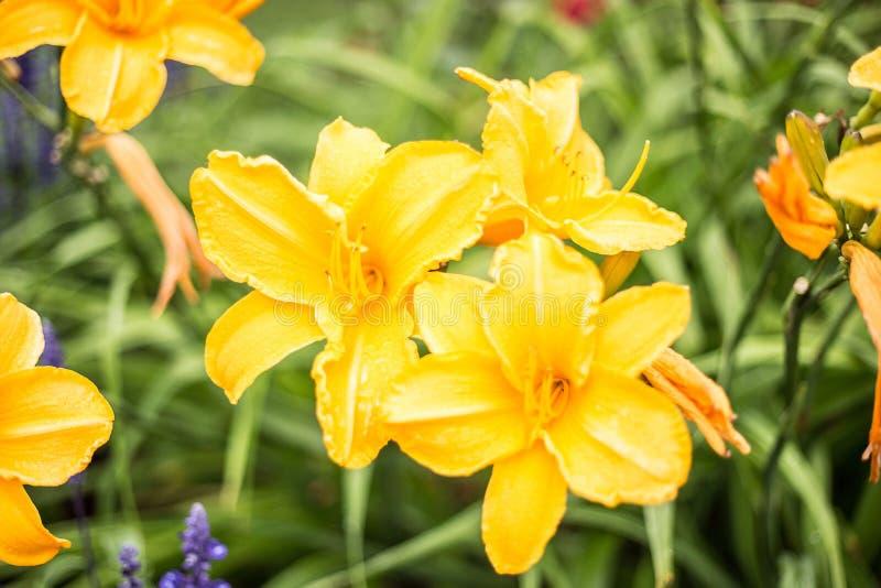 Żółte leluje w górę zdjęcia royalty free