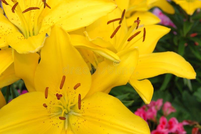 żółte lilie obraz stock
