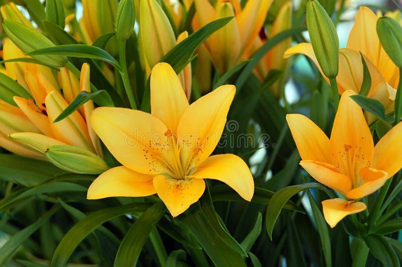 żółte lilie fotografia stock