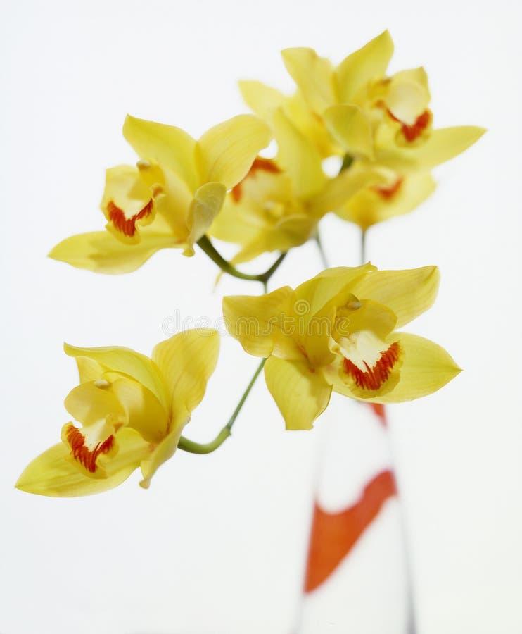 żółte orchidee obrazy stock