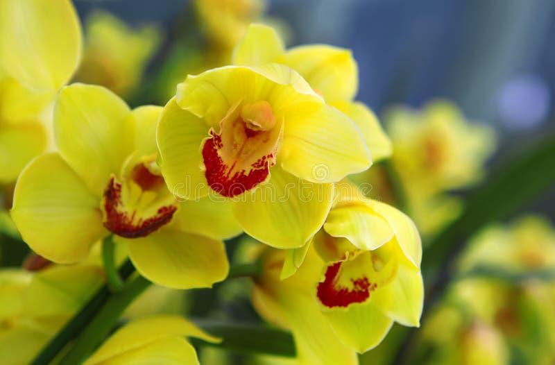 Żółte orchidee w ogródzie botanicznym zdjęcia stock