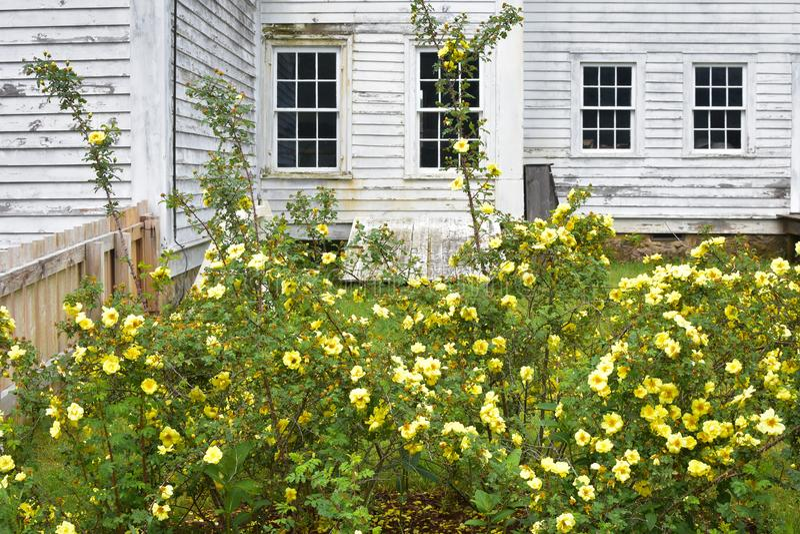 Żółte róże Kwitnie przed bielu domem zdjęcia royalty free