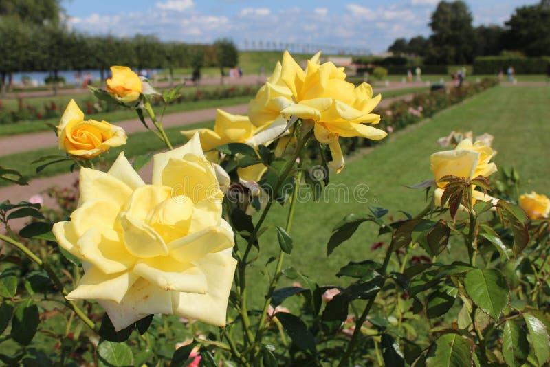 Żółte róże w lata popołudniu w parku miasto Petergof obrazy royalty free
