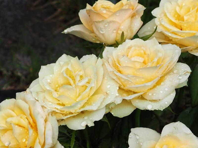 Żółte róże z wodnymi kroplami zamkniętymi w górę Selekcyjna ostro?? z zamazanym t?em obrazy stock