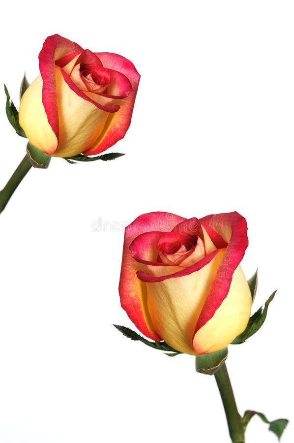 żółte różowe róże obrazy stock