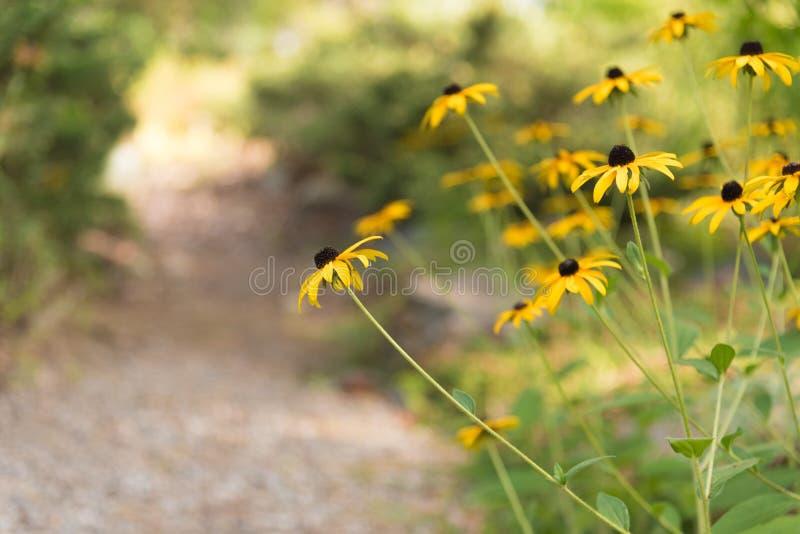 Żółte stokrotki kwitnie obok ogrodowej drogi przemian z ciepłym światłem słonecznym w tle zdjęcie royalty free