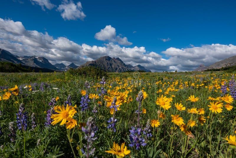 Żółte stokrotki w Wildflower polu w Montana obrazy royalty free