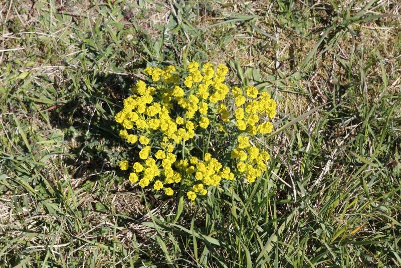 Żółtego cyprysu wilczomlecza roślina z kwiatami na łące fotografia royalty free