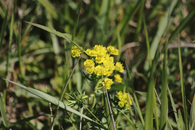 Żółtego cyprysu wilczomlecza roślina z kwiatami na łące zdjęcie stock