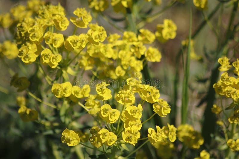 Żółtego cyprysu wilczomlecza roślina z kwiatami na łące fotografia stock