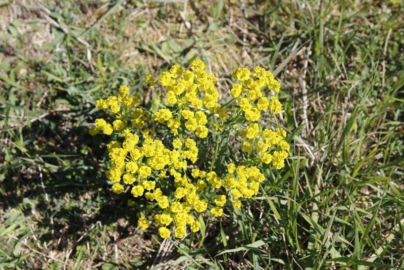 Żółtego cyprysu wilczomlecza roślina z kwiatami na łące obrazy royalty free