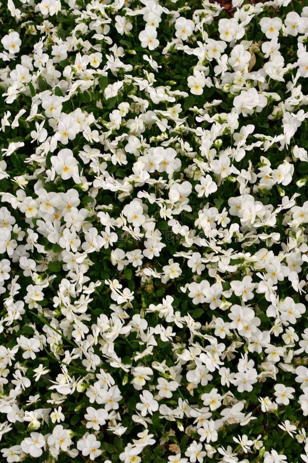 Żółtego i białego kwiatu dywan zdjęcie royalty free