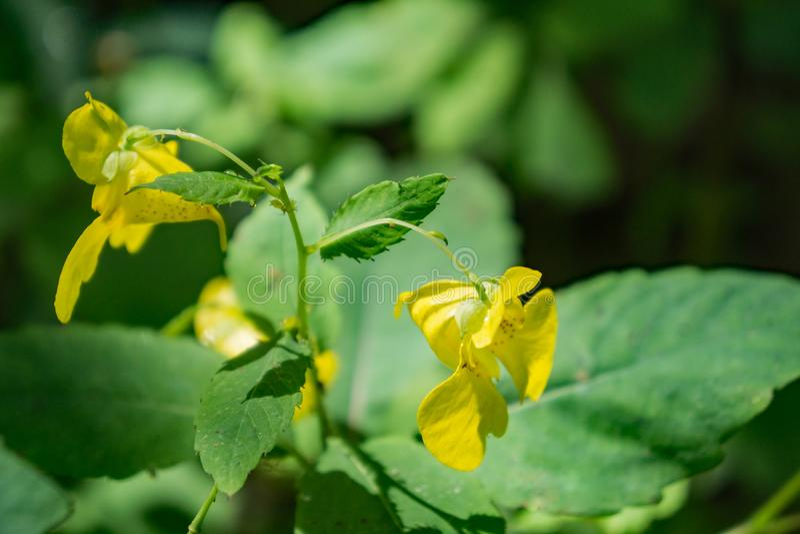 Żółtego Jewelweed †'Impatiens pallida zdjęcia stock
