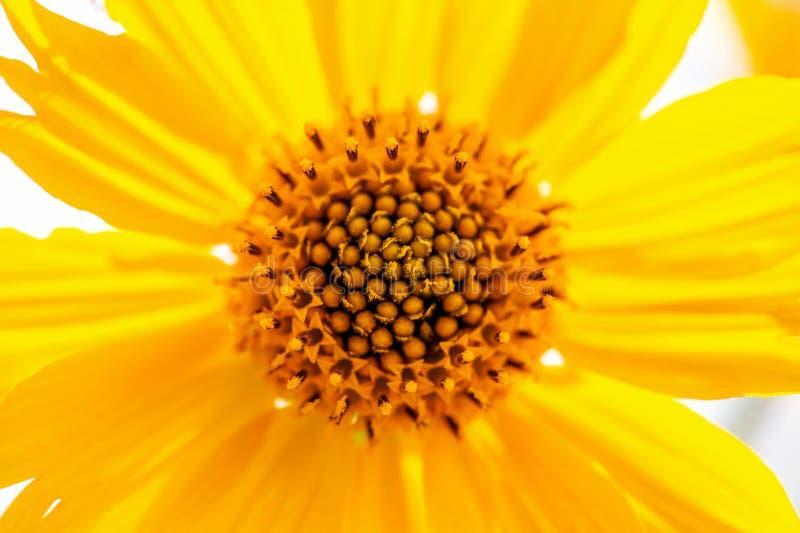 Żółtego Meksykańskiego słonecznika centrum Makro- strzał obrazy stock