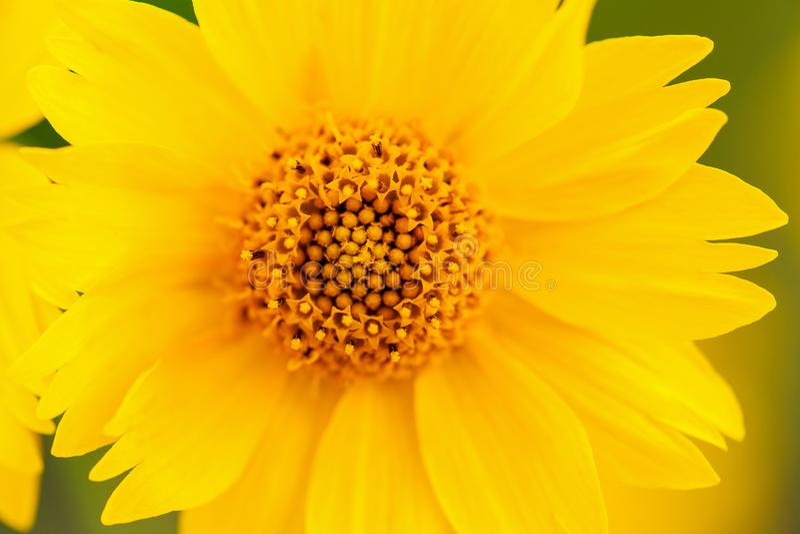 Żółtego Meksykańskiego słonecznika centrum Makro- strzał obrazy royalty free