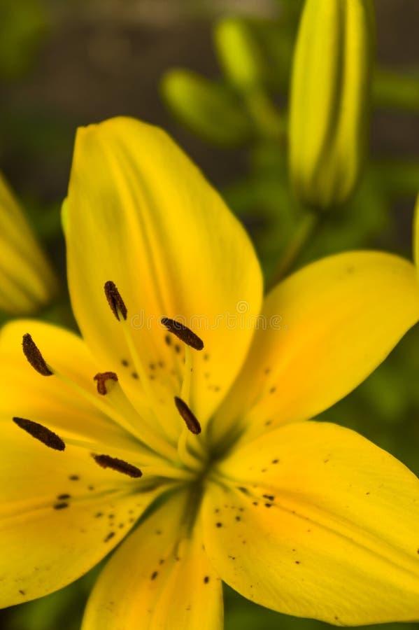 Żółtego poślubnika kwiatu otwarty zamknięty zakończenie w górę widok selekcyjnej ostrości zdjęcie stock
