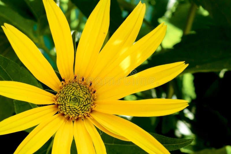 Żółtego rumianku lub stokrotki kwiatu zbliżenia makro- wizerunek Kwiecisty lato ogródu tło obrazy stock