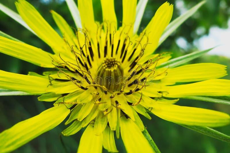 Żółtego Salsify kwiat zdjęcia stock
