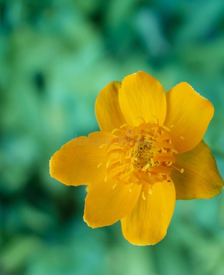 Żółtego trollius chinensis kwiat zdjęcia royalty free