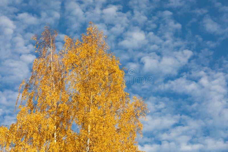 Żółtej brzozy drzewo przeciw cirrocumulus chmur niebu fotografia royalty free