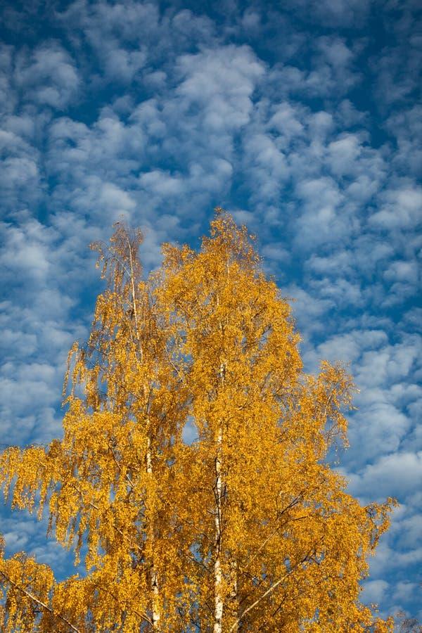 Żółtej brzozy drzewo przeciw cirrocumulus chmur niebu zdjęcia stock
