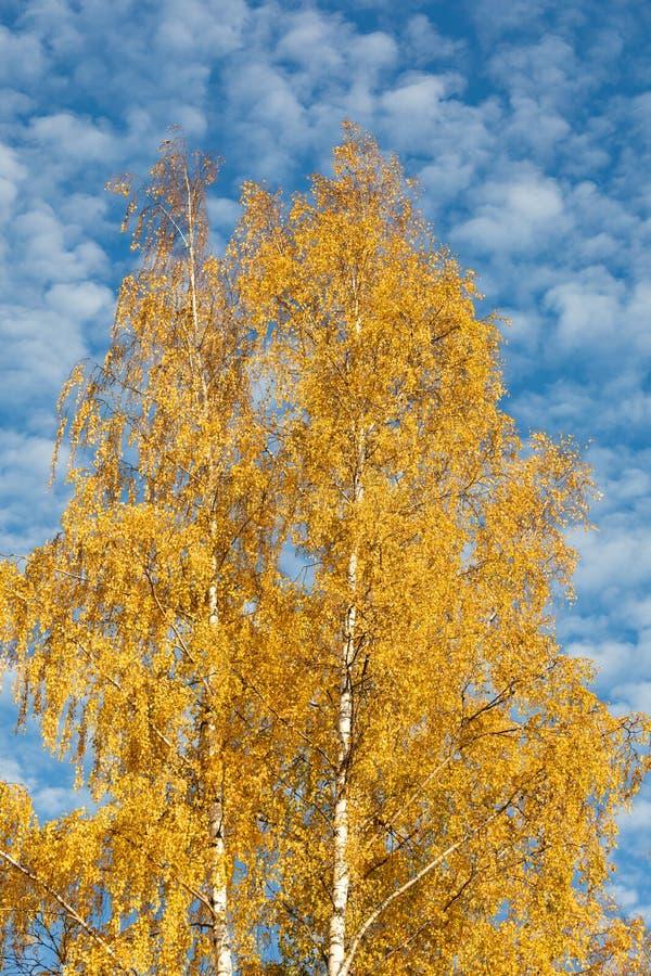 Żółtej brzozy drzewo przeciw cirrocumulus chmur niebu obraz royalty free