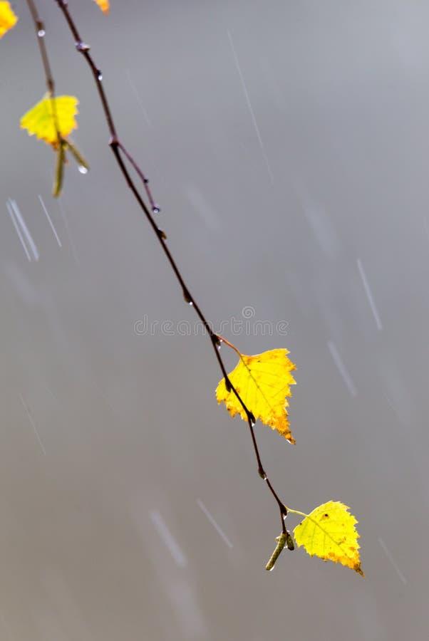 Żółtej brzozy liście fotografia stock