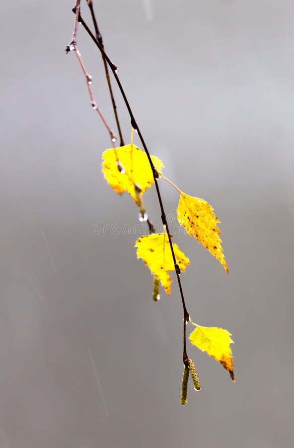 Żółtej brzozy liście zdjęcia royalty free