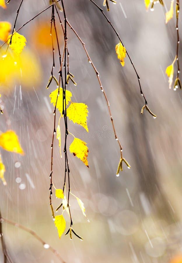 Żółtej brzozy liście obrazy royalty free