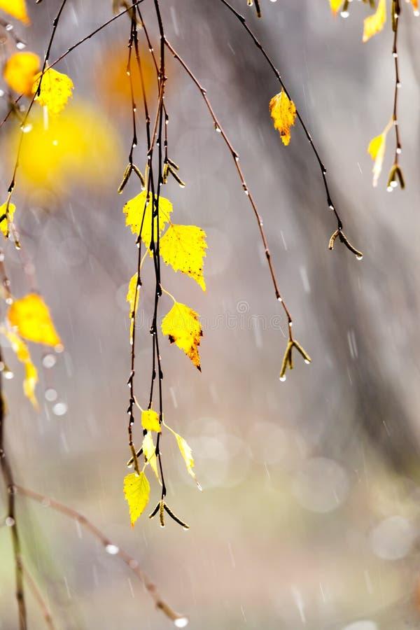 Żółtej brzozy liście zdjęcie royalty free