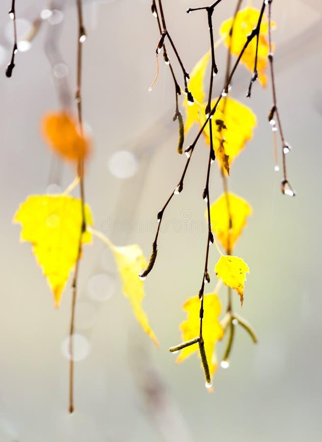Żółtej brzozy liście fotografia royalty free