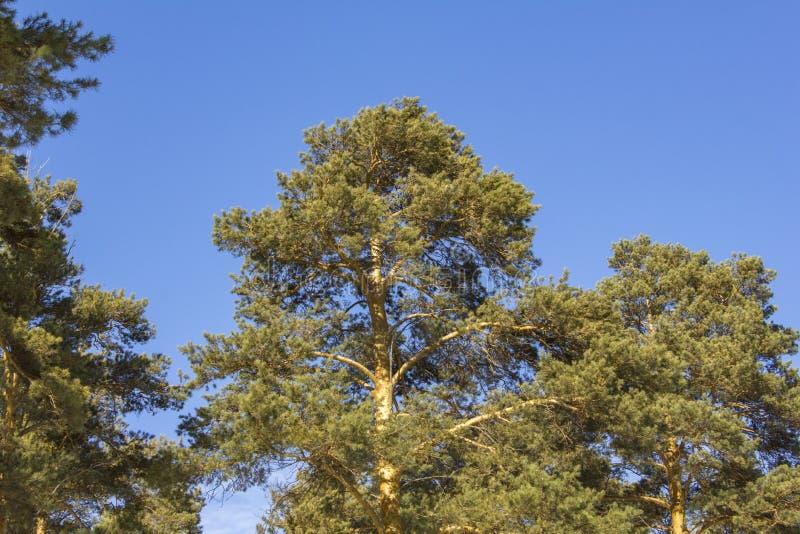 Żółtej zieleni conifer drzewa na tle jasny zmrok - niebieskie niebo zdjęcia stock