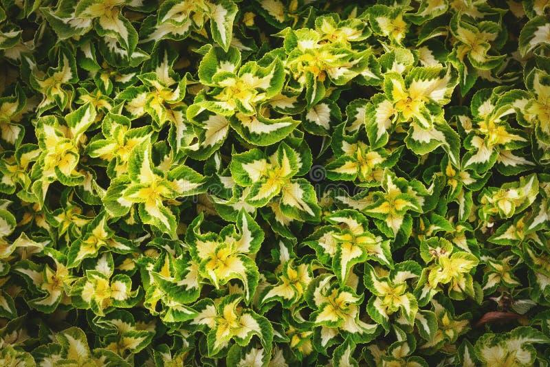 Żółtej zieleni liści deseniowy tło Naturalny tło i tapeta zdjęcia royalty free
