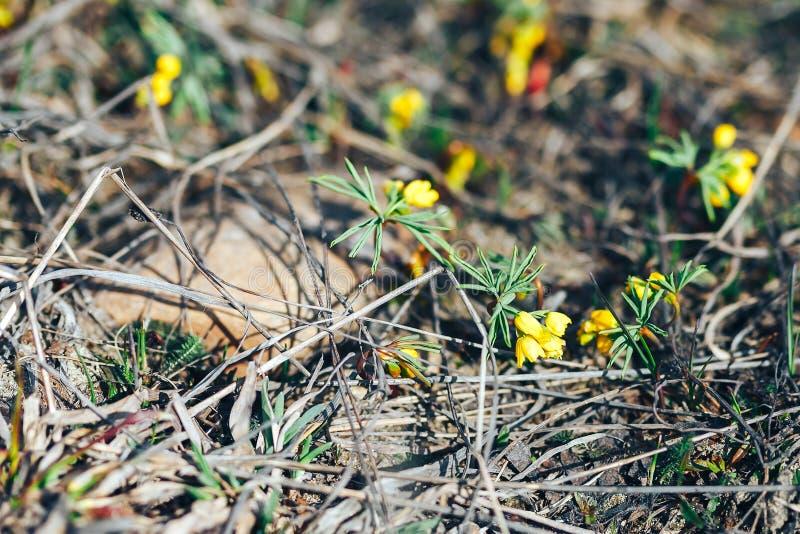 Żółty śnieżyczka kwiat w wiosna słonecznym dniu najpierw kwitnie obrazy stock