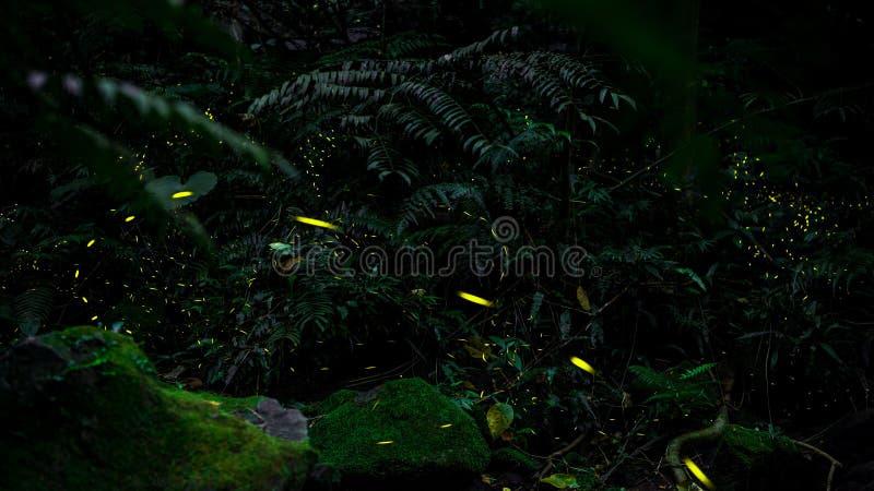 Żółty światło świetlika insekta latanie w noc lesie, tło Tajwan fotografia royalty free