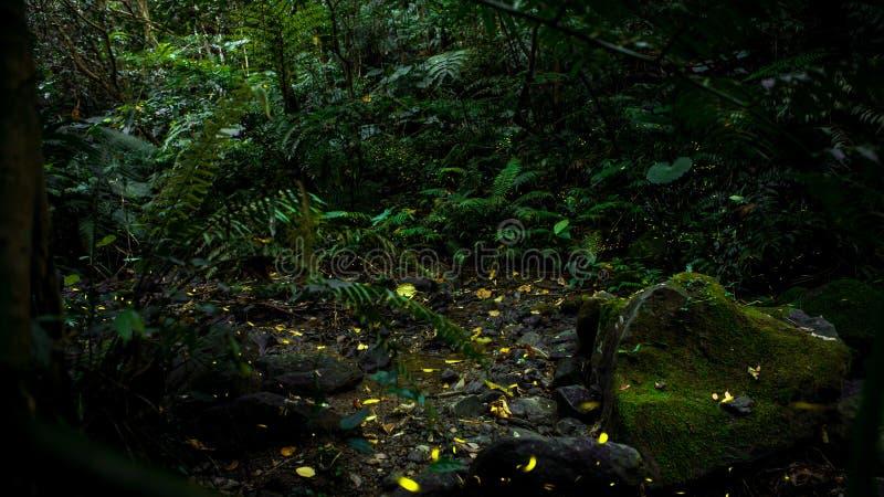 Żółty światło świetlika insekta latanie w noc lesie, tło Tajwan fotografia stock