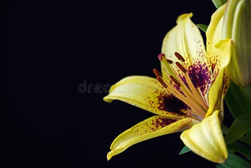 Żółty asiatic leluja kwiat na czarnym tle zdjęcie stock