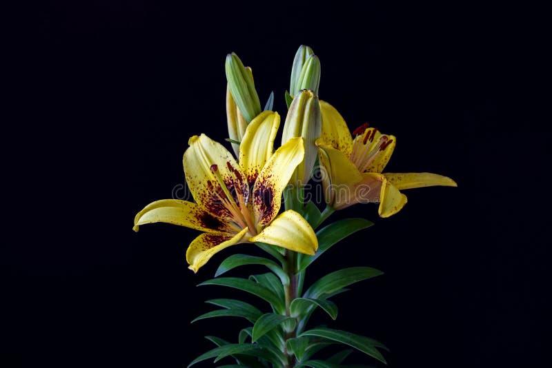 Żółty asiatic leluja kwiat na czarnym tle zdjęcie royalty free
