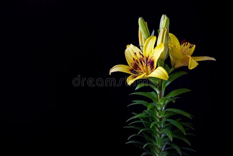 Żółty asiatic leluja kwiat na czarnym tle obraz stock