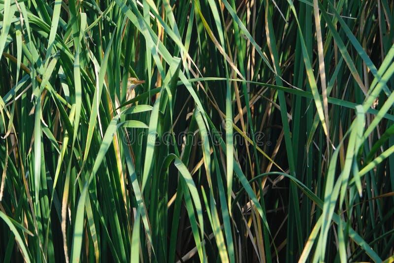 Żółty Bąk zdjęcia stock