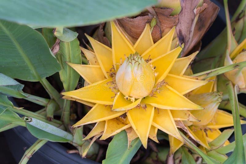 Żółty bananowy kwiat, zakończenie w górę obrazy royalty free