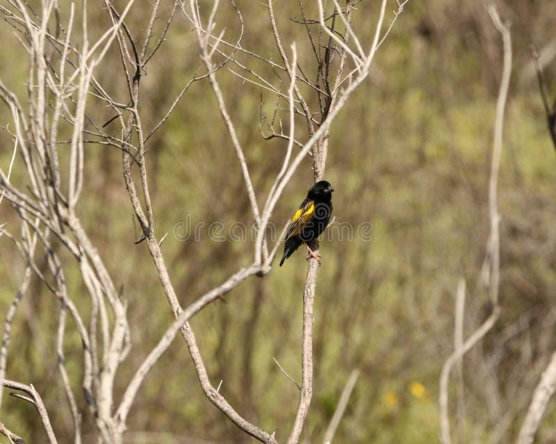 Żółty biskupa Finch zdjęcie stock