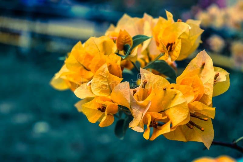 Żółty Bouganvillia ostrza zbliżenie zdjęcie royalty free
